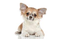Chihuahua longa do revestimento em um fundo branco Fotografia de Stock