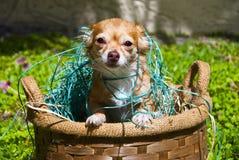 Chihuahua Longhair schioccando dal cestino Fotografia Stock