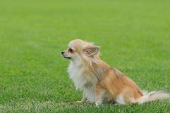 Chihuahua longhaired dog portrait Royalty Free Stock Photography