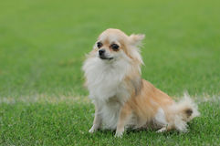 Chihuahua longhaired dog portrait Stock Photos