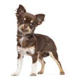 Chihuahua looking at camera Royalty Free Stock Photo