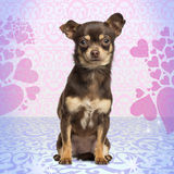 Chihuahua looking at the camera, sitting on heart background Royalty Free Stock Photography