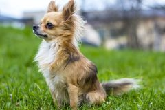 Chihuahua looking in the distance. Chihuahua named chipi-ripi won alot of prizes on competition. He is also very quite and love all the people and kids, like Royalty Free Stock Image