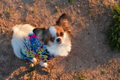 Chihuahua looking royalty free stock photos