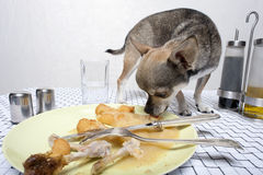 Chihuahua looking at food on plate Royalty Free Stock Image
