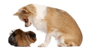 Chihuahua looking at guinea pig Stock Image