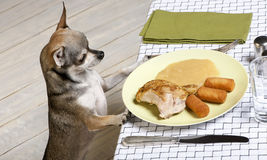 Chihuahua looking at leftover food on plate Stock Photo