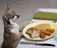 Chihuahua looking at leftover food on plate Stock Image