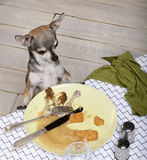 Chihuahua looking at leftover food on plate Royalty Free Stock Images
