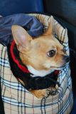 Chihuahua, looking outside the window Royalty Free Stock Photo