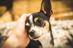 Chihuahua looking at person while getting petted Stock Photo