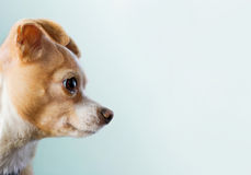 Chihuahua Looking To Right Side. Chihuahua in profile looking to empty copy space on right Royalty Free Stock Image
