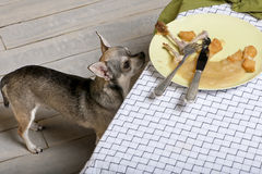 Chihuahua looking up at leftover meal Royalty Free Stock Photo