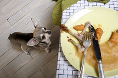 Chihuahua looking up at leftover meal Stock Photo