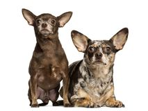 Chihuahua looking up, next to each other, 3 and 2 years old. Isolated on white royalty free stock images