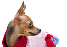 Chihuahua looking up on the white background Stock Photos