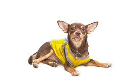 Chihuahua looking up Stock Photography