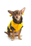 Chihuahua looking up Stock Image