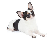 Chihuahua looks up Royalty Free Stock Photography