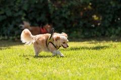 Chihuahua loura pequena cão misturado da raça Fotos de Stock
