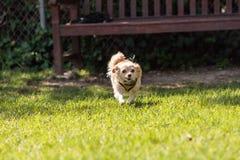 Chihuahua loura pequena cão misturado da raça Foto de Stock Royalty Free