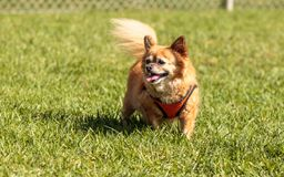 Chihuahua loura pequena cão misturado da raça Fotografia de Stock Royalty Free