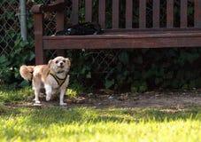 Chihuahua loura pequena cão misturado da raça Fotos de Stock Royalty Free