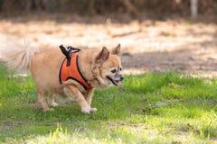 Chihuahua loura pequena cão misturado da raça Imagem de Stock Royalty Free