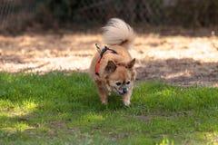 Chihuahua loura pequena cão misturado da raça Foto de Stock
