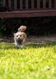 Chihuahua loura pequena cão misturado da raça Imagem de Stock
