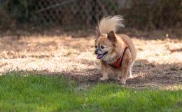 Chihuahua loura pequena cão misturado da raça Fotografia de Stock
