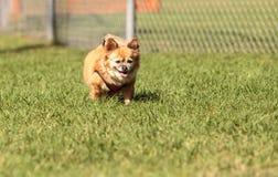 Chihuahua loura pequena cão misturado da raça Imagens de Stock