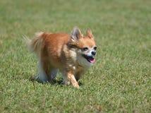 Chihuahua lunga del cappotto immagini stock