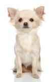 Chihuahua lunga del cappotto su una priorità bassa bianca fotografia stock