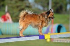 Chihuahua lunga del cappotto una prova di agilità del cane Immagine Stock