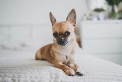 Chihuahua lying on the bed stock image