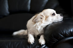 Chihuahua lying on black  leather chair Stock Photos