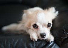 Chihuahua  lying down on black Stock Image