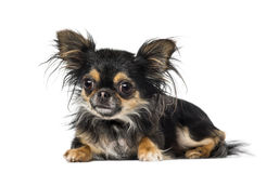 Chihuahua. Lying down, isolated on white Royalty Free Stock Photography