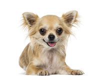 Chihuahua. Lying down, isolated on white Royalty Free Stock Images