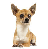 Chihuahua lying down, looking away, 2 years old Royalty Free Stock Images