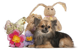 Chihuahua lying with Easter stuffed animals Royalty Free Stock Images