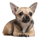 Chihuahua lying in front of white background Stock Photo