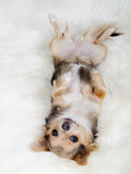 Chihuahua lying on her back on white fluffy fur Stock Images