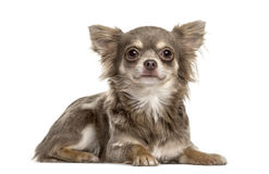 Chihuahua lying, isolated Royalty Free Stock Photos
