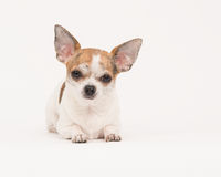 Chihuahua lying in off white Stock Images