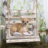 Chihuahua lying on a pillow Stock Image