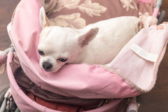 Chihuahua lying in the pram Royalty Free Stock Photo