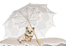 Chihuahua lying under parasol Royalty Free Stock Image