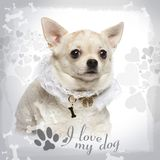 Chihuahua lying, wearing a lace shirt and fancy dog collar. On designed background royalty free stock image
